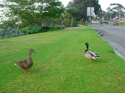 Ducks in Balboa Park